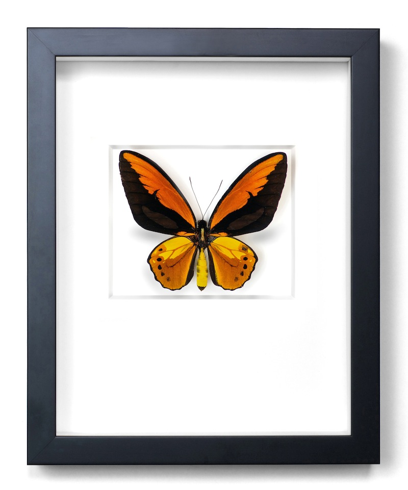 Fiery Birdwing Butterfly, Indonesia, Black Frame   11×14   PESL3