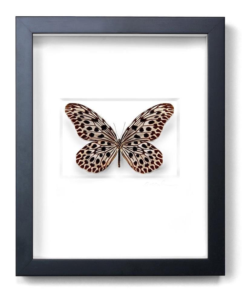 "Ricepaper Butterfly, Black Frame,   11×14""h   PESL2"