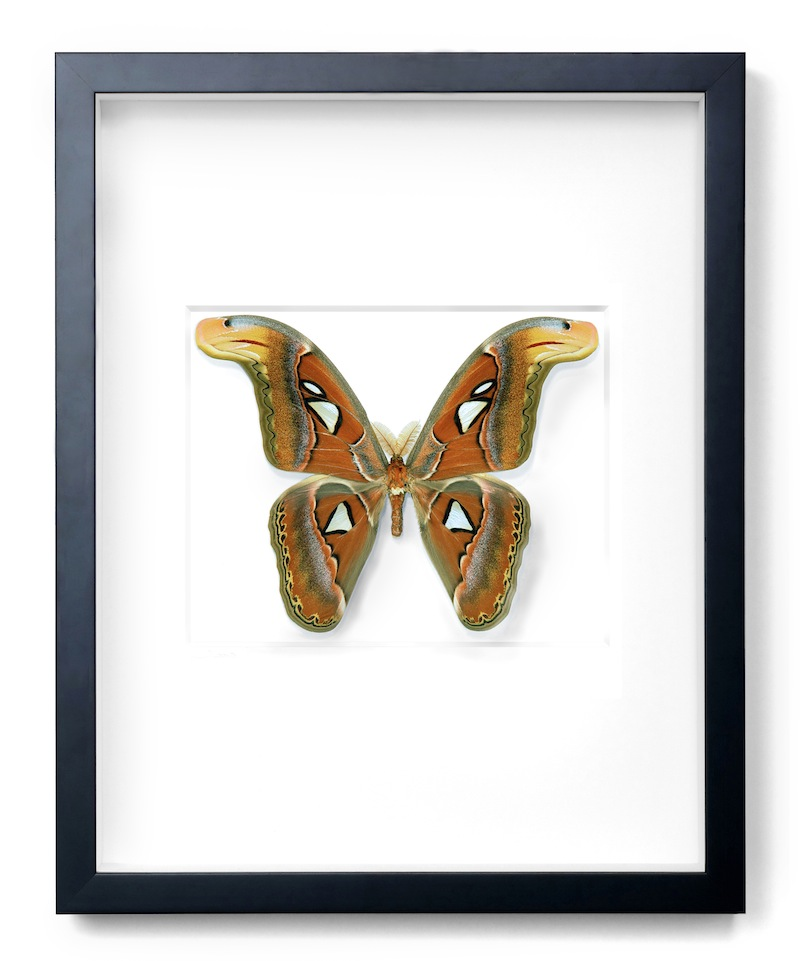 "Atlas Moth, Black Frame,   16×20""h   PESL23"