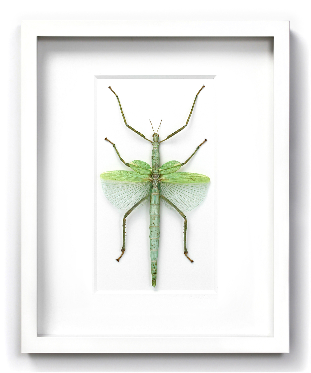 16x20 versi walkingstick green in white.jpg