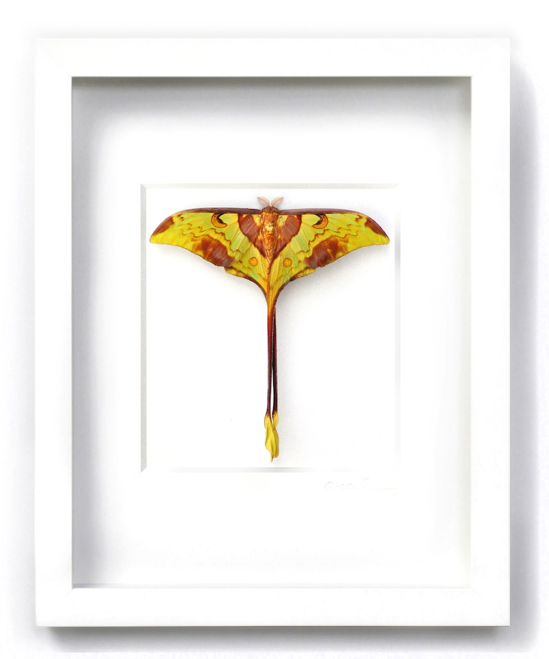 Male Moon Moth White Frame   12.5×15.5h   PESL26M