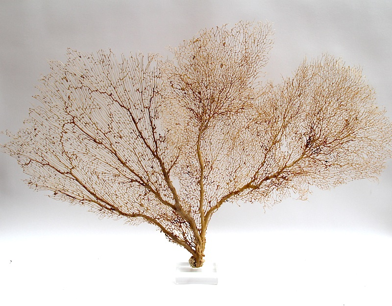 Tan Sea Fan on Acrylic Base  44×3x31h   T567AA