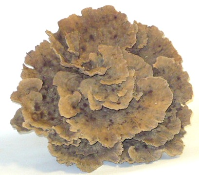 Natural Poca Coral   17×16×10h +/-   T568