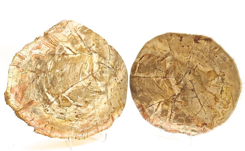 PETRIFIED WOOD SLICES