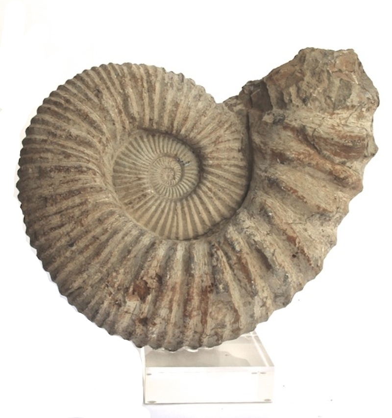 Ammonite Fossil on Acrylic Base   14×5x14h   FOS245BB