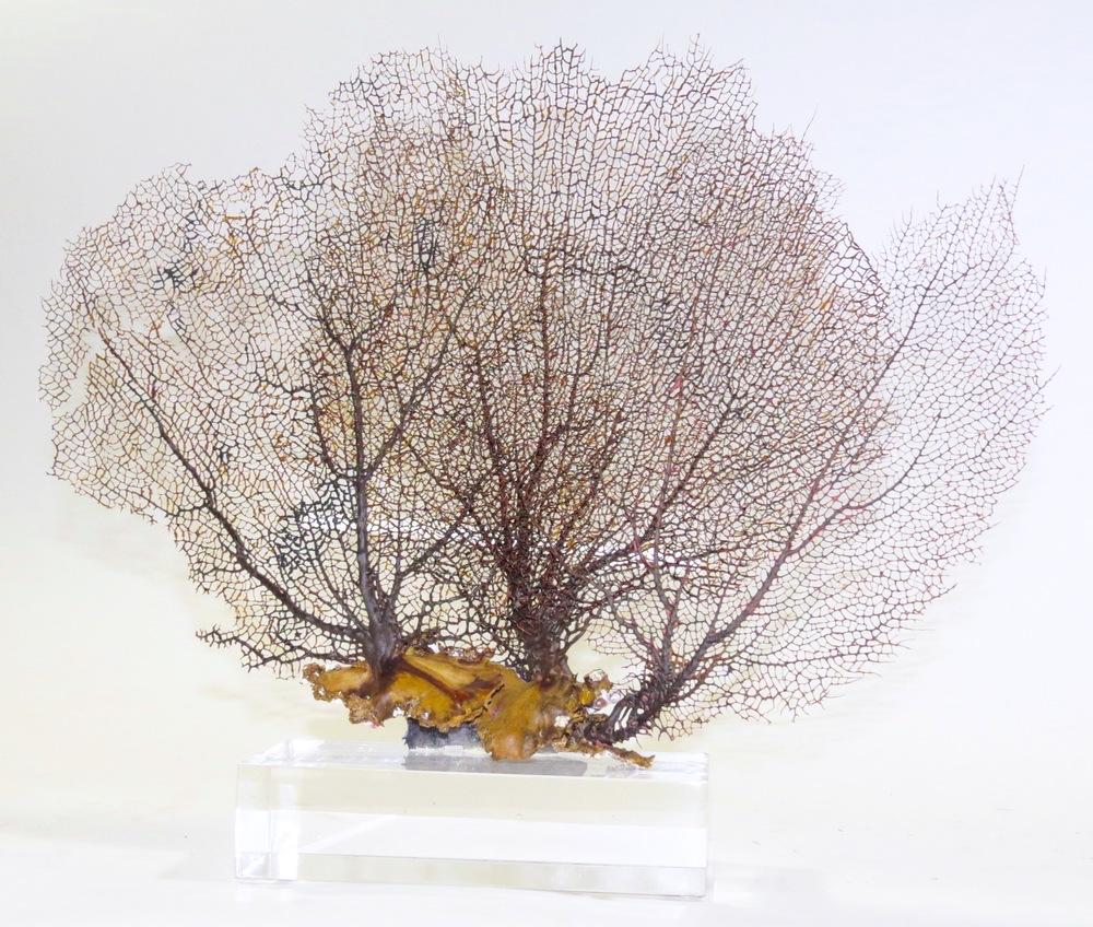 3 Sea Fan Corals on Acrylic Block