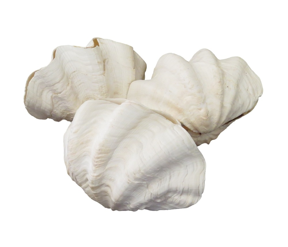 "Whole Gigas Clam  7-8""  T854"