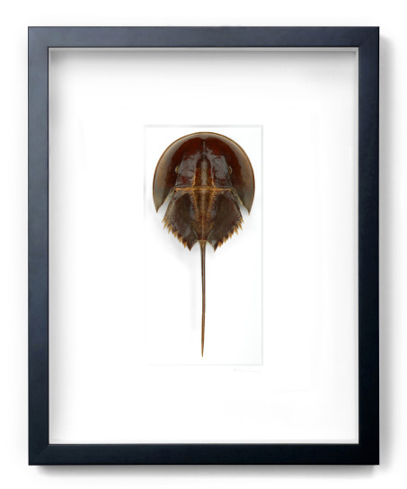 Horseshoe Crab  16x20  PESLC04