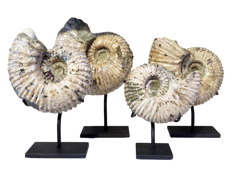 "Douvelliceras Ammonite Fossil/Iron Stand  6-9X3-7X5-12""h  MT420AA"