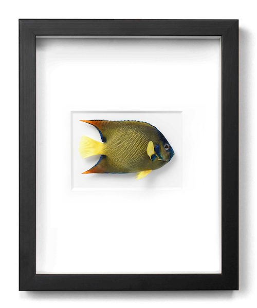 Queen Angelfish  11x14  PERF07