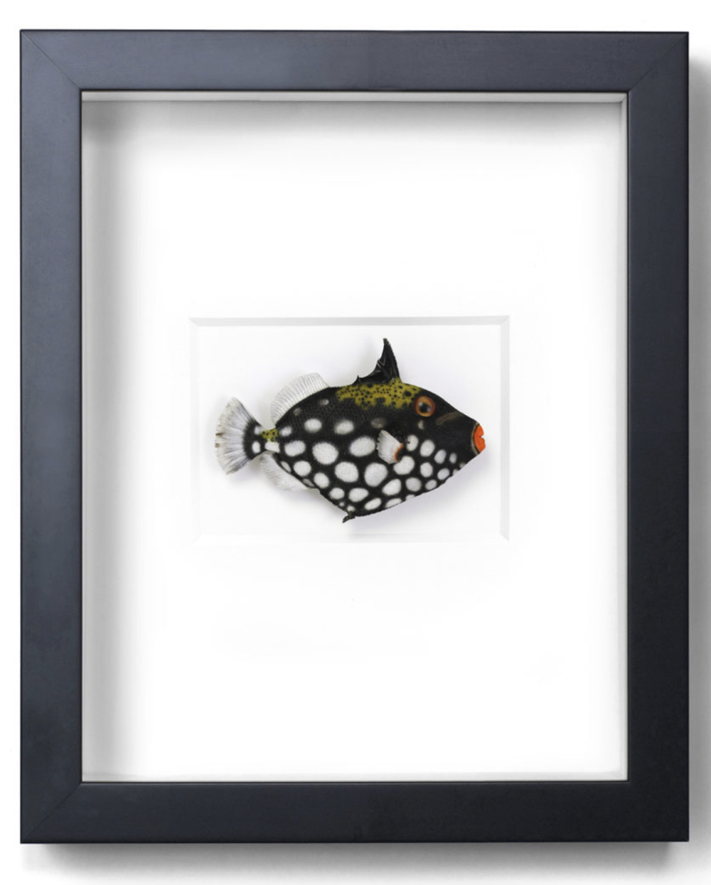 Clown Trigger Fish   11x14  PERF44