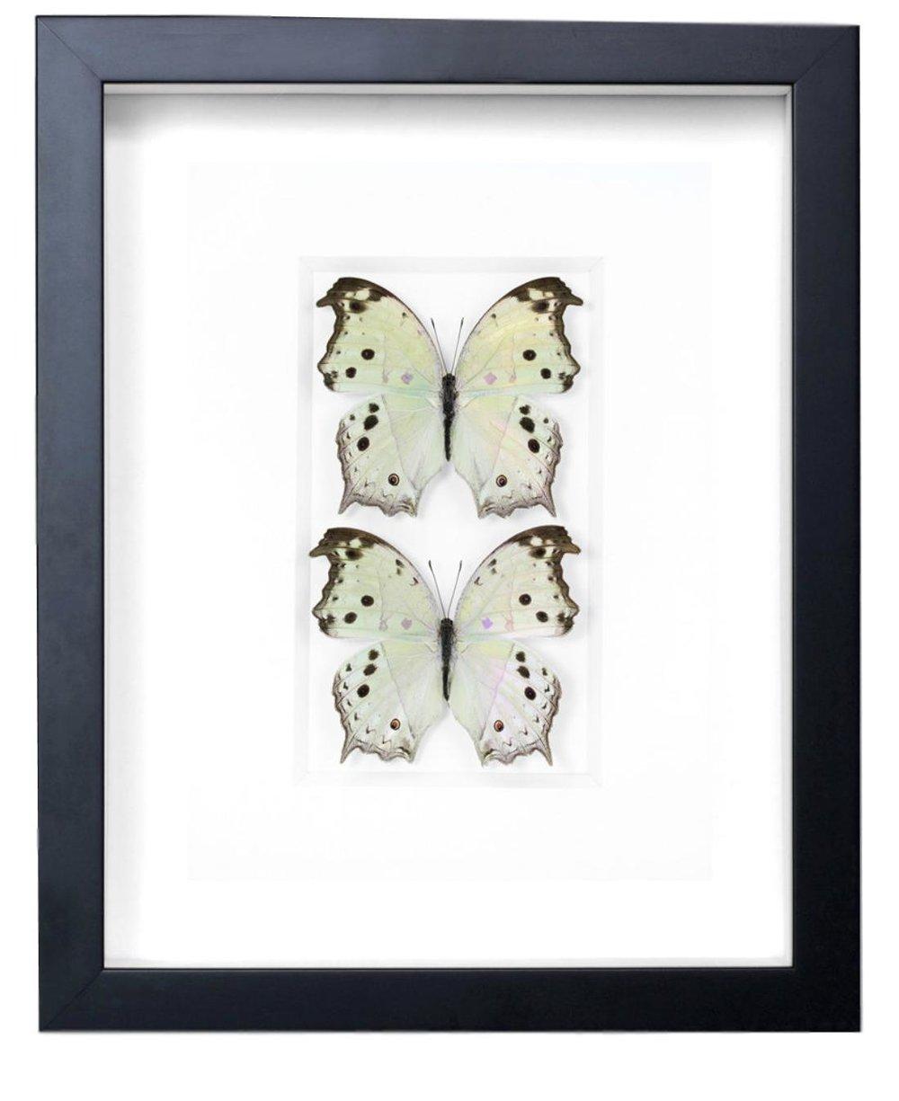African Nymph Butterflies   11x14  PESGL36