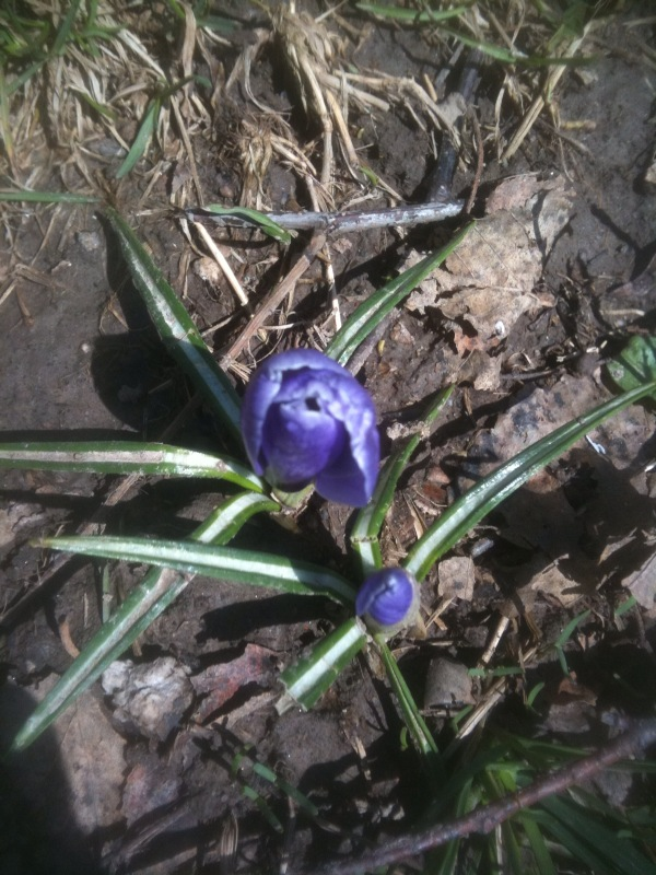 Crocus & Tulips in Pittsford - great day to see some flowers and green on my walk!