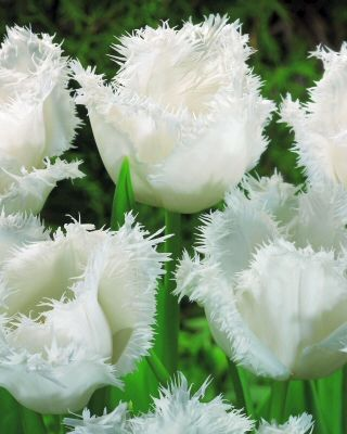 Image  blomsbulbs.com