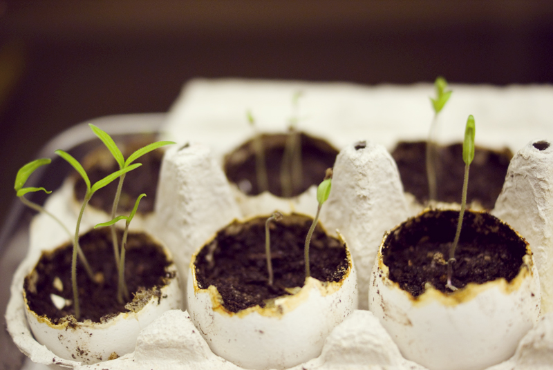 I used eggshells filled with soil to sprout the cherry tomatos! I got the idea from the blog  17apart  (they have so much information on sprouting things, it's ridiculous, go check it out if you're interested!).
