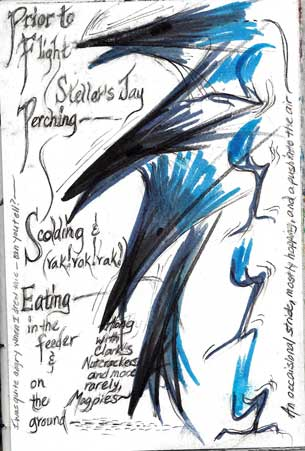 10/19/12 Steller's Jay, Cyanocitta stelleri