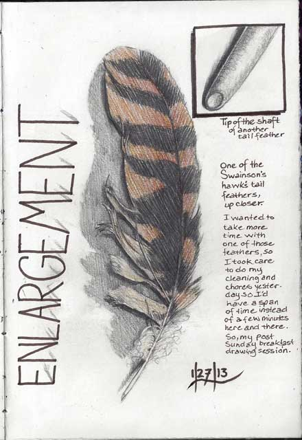 An enlargement of one of the Swainson's hawk's feather.