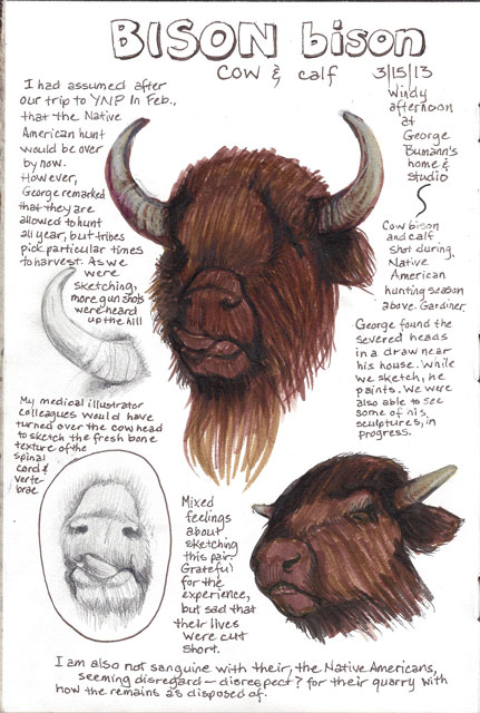 The Native American hunt is going on right now, and George found these buffalo heads near his house. He offered us the opportunity in the afternoon to sketch the cow and calf.