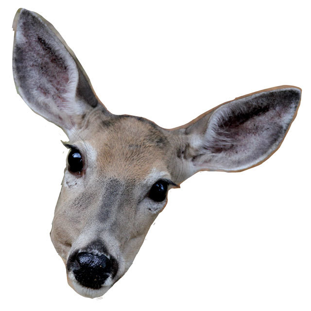 doe_closeup_03.jpg