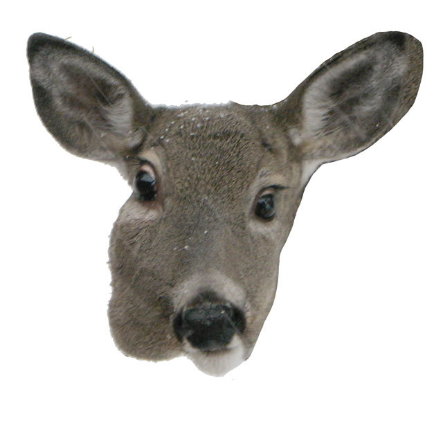 doe_closeup_04.jpg