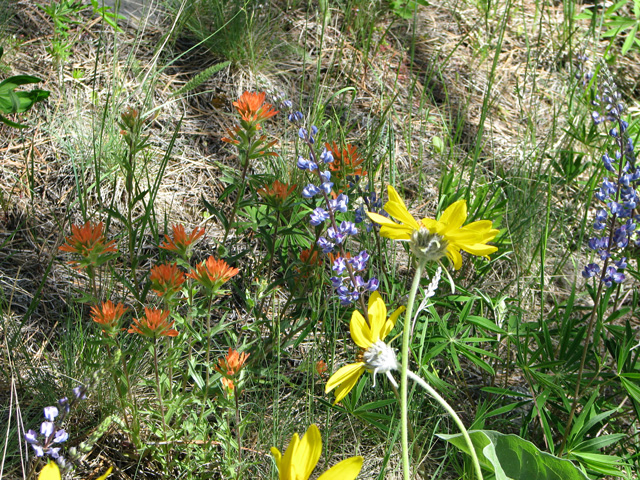 Paintbrush, lupine and balsam root.