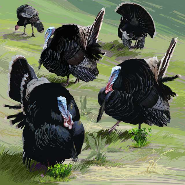 Merriam's turkeys, Meleagris gallopavo merriami