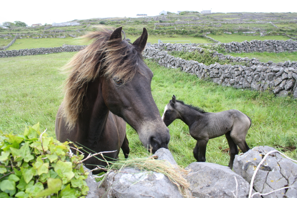 Horse and foal on Aran Islands