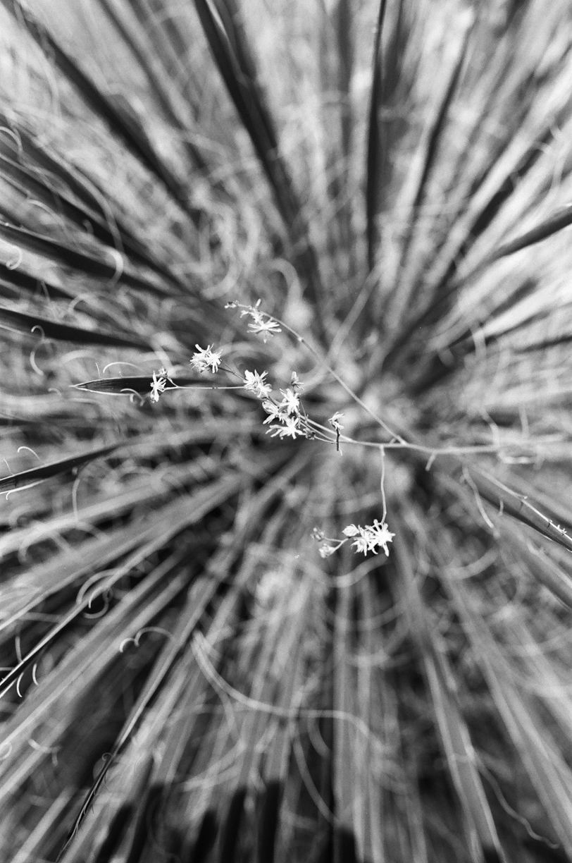 Flowers on Stringy Hair Inside Cactus_web.jpg