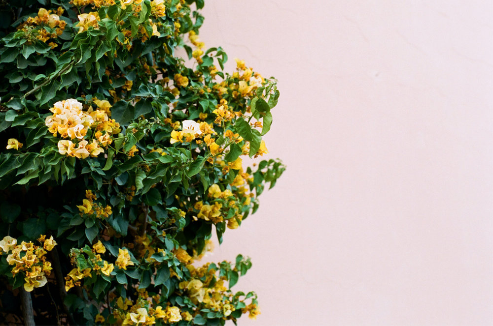 Yellow Flower Bush near Place Foucauld_web.jpg