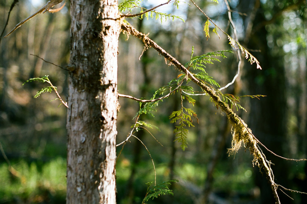 Sunlit Skinny Tree Branches with Green Moss_Campsite_web.jpg
