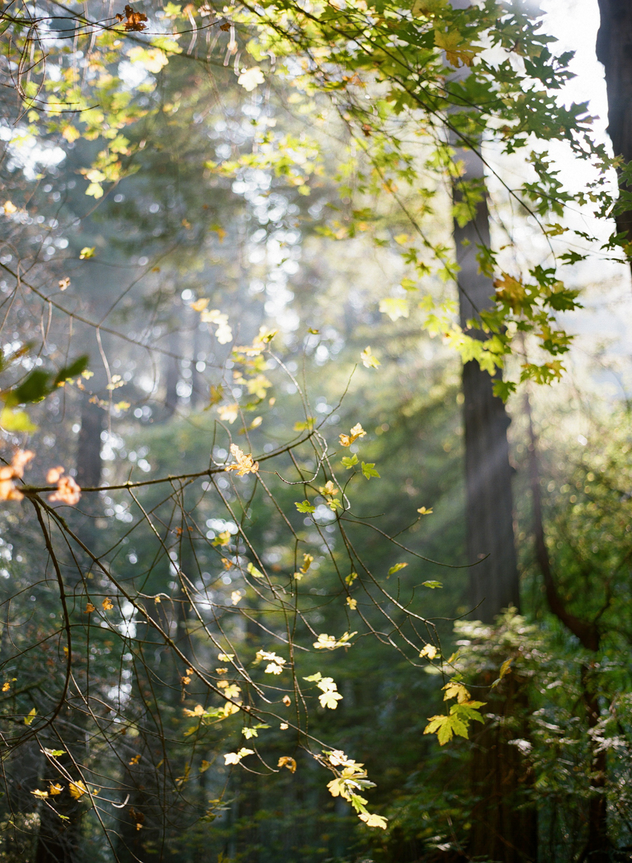 Leaves with Ray of Lights through trees_Muir Woods_web.jpg