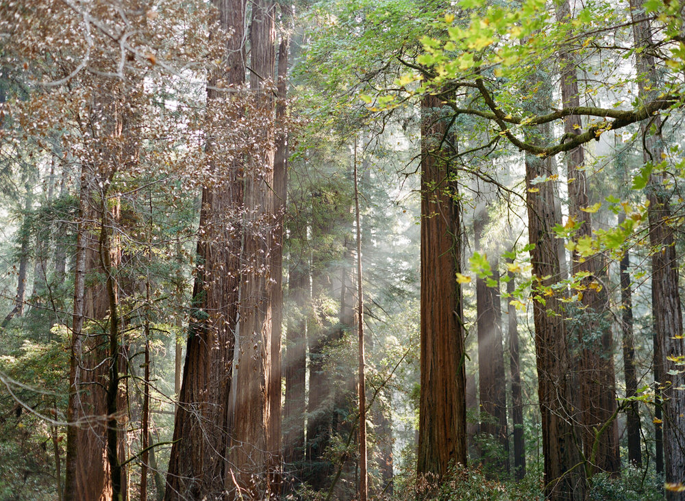 Radiant Light Rays through Muir Woods_web.jpg