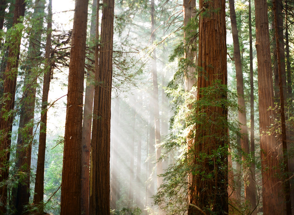 Light Rays Coming Through Red Woods_Endor_Muir Woods_web.jpg