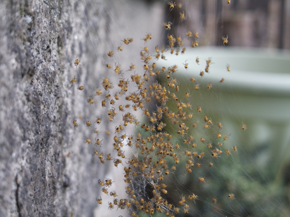 Garden Spiderlings