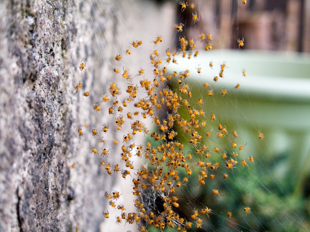 spiderlings.jpg