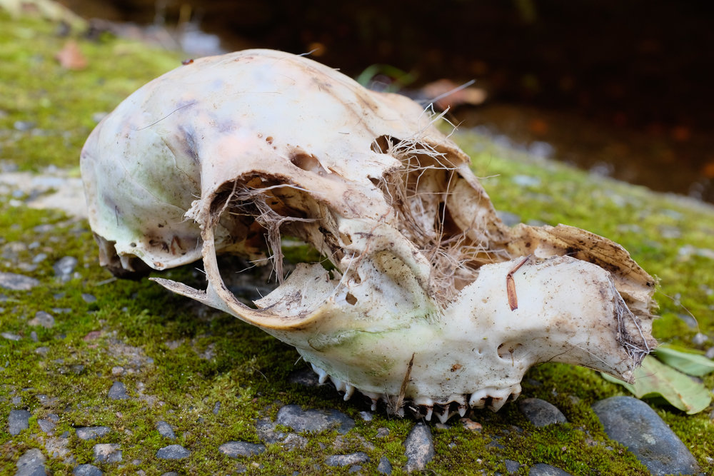 Sheep Skull Edzell