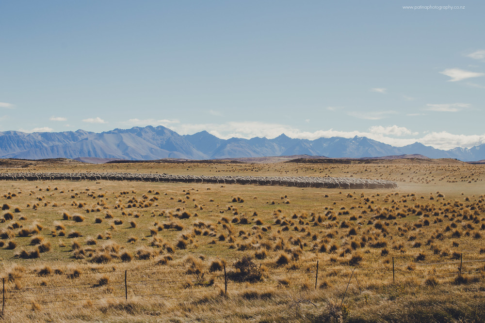 Sheep herding in Mackenzie Country, New Zealand