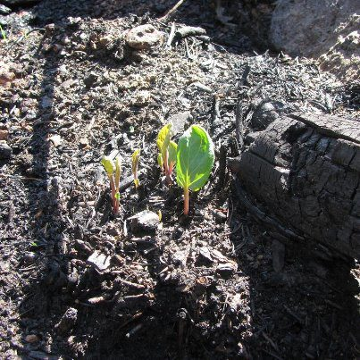 New growth from the ashes of the Waldo Canyon fire in Colorado.