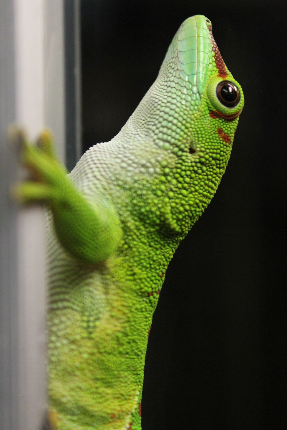 LPZ Florida Wildlife Center Key West Deck Giant Day Gecko 002.JPG