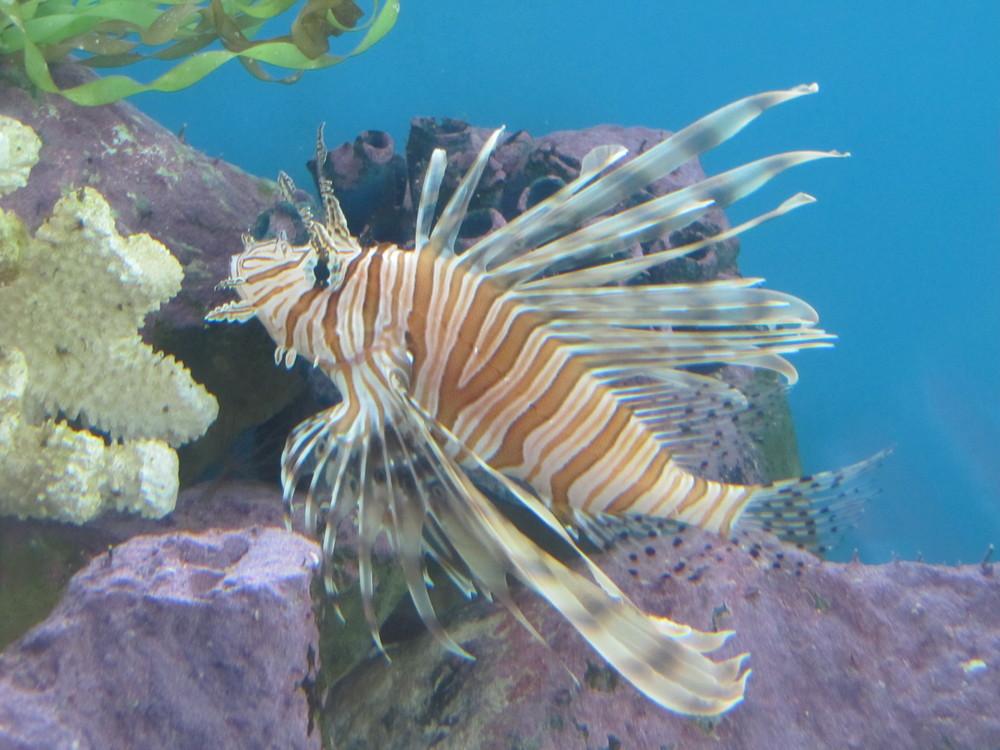 MML Lionfish 001.JPG