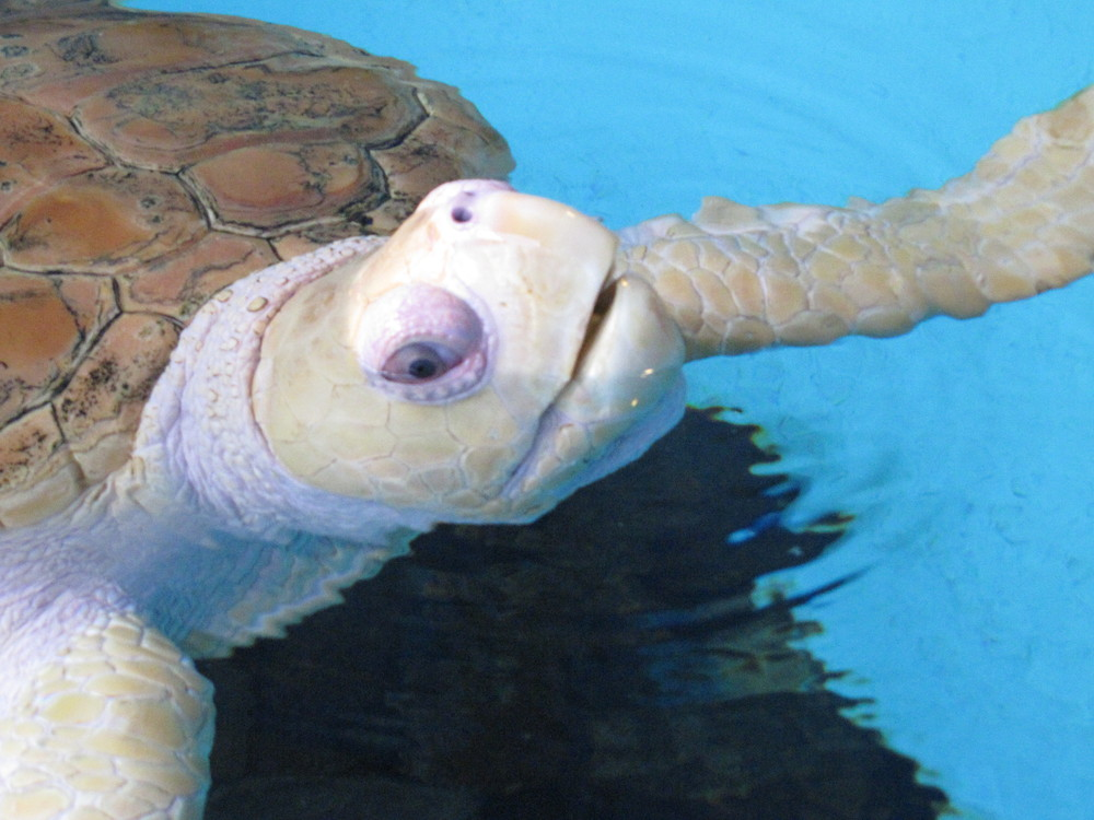 MML Loggerhead Turtle 002.JPG