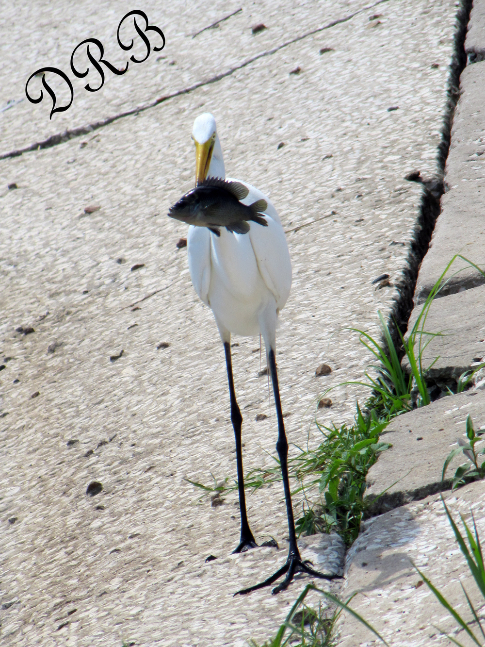 MSP Great Egret 009.JPG
