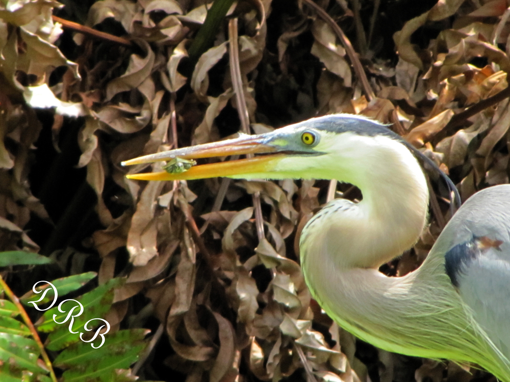 SJG Great Blue Heron 005.JPG