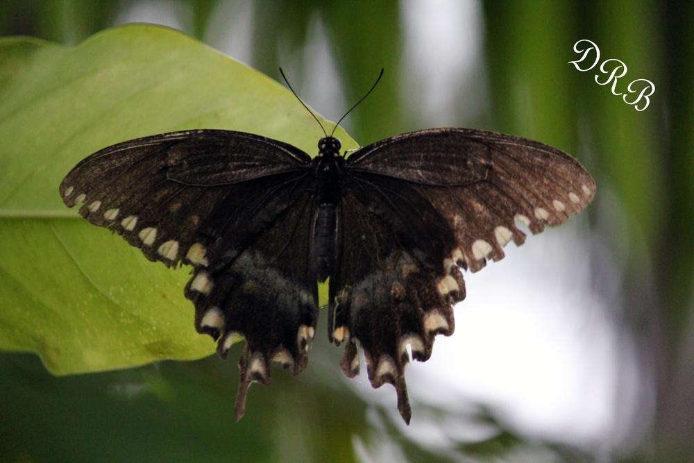 SJG Spicebush Swallowtail Butterfly 005.JPG