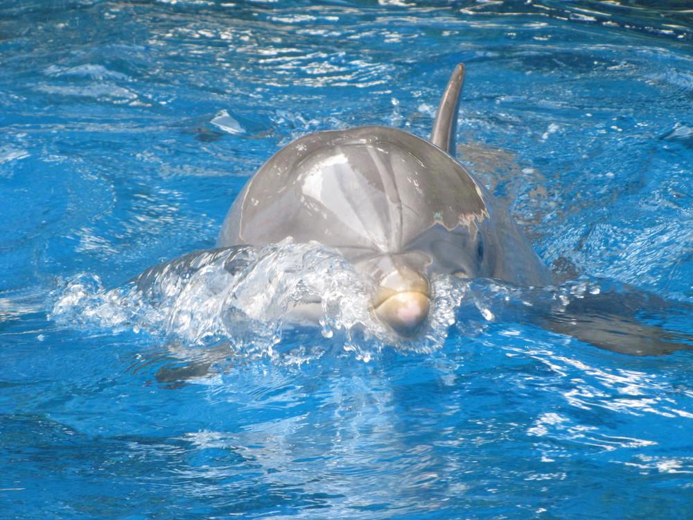 SW Dolphin Nursery Atlantic Bottlenose Dolphin 001.JPG