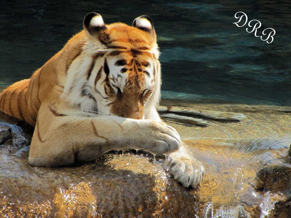 TBG Jungala TT Bengal Tiger 032.JPG