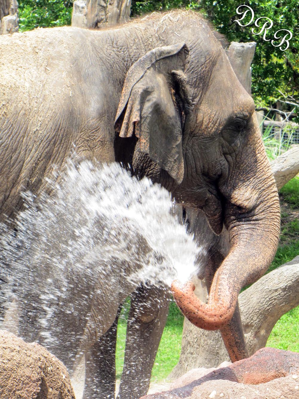 TBG Nairobi Asian Elephant 010.JPG