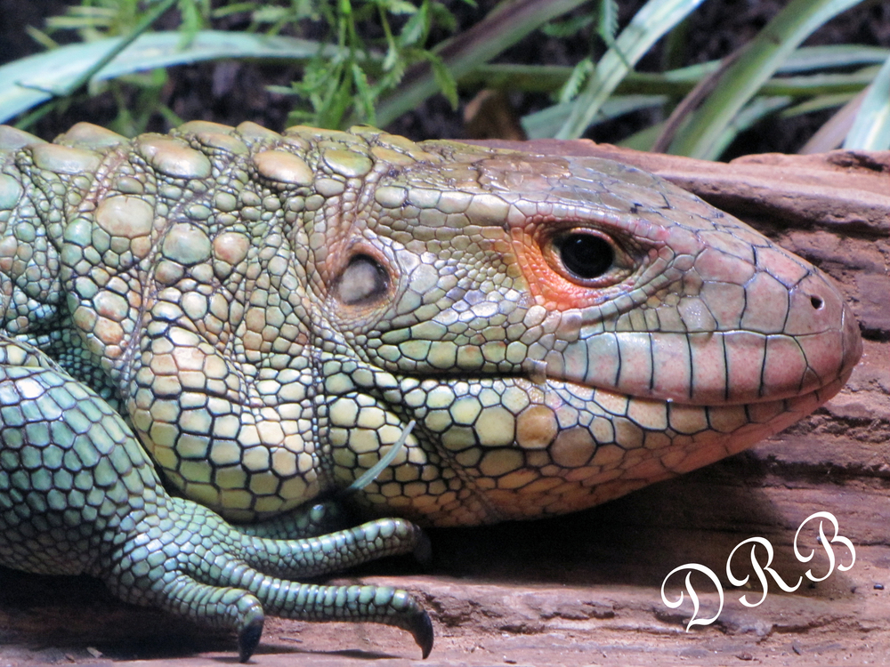 TBG Nairobi Jambo Junction Caiman Lizard 002.JPG
