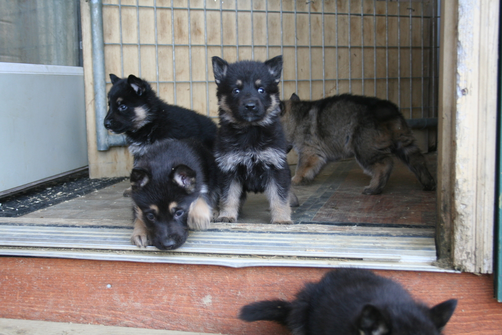 D Litter puppies from Jazz and Drago are all sold.