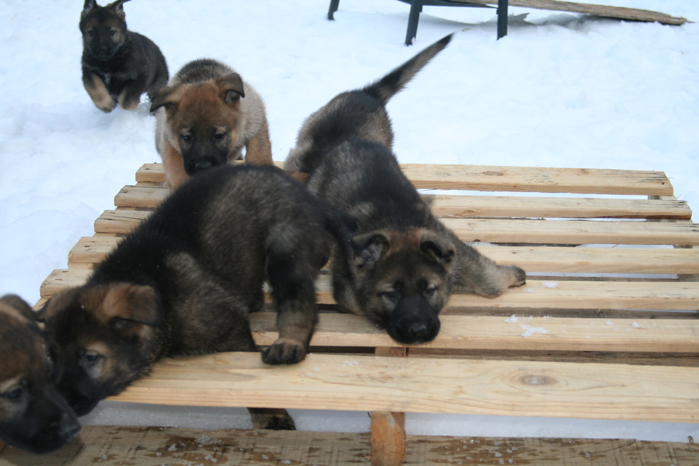 C Litter Puppies are all sold from Racke and Roots du lac William, Sch III .